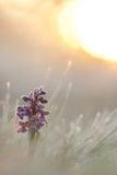 Green-winged orchidee/Kleines Knabenkraut/Anacamptis-morio Stock Foto's