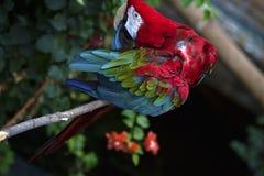 Green-winged Papegaai die zijn Veren gladstrijken Stock Afbeelding
