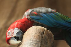 Green-winged parrot Stock Photography
