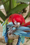 Green-winged parrot in Iguazu Stock Images