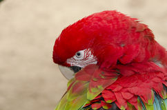 Green-winged parrot in Iguazu Stock Image