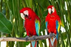 Green-Winged and Scarlet macaws in the nature. Couple of Green-Winged and Scarlet macaws in nature surrounding, Bali, Indonesia Royalty Free Stock Images