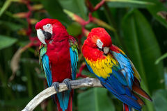 Green-Winged and Scarlet macaws in the nature. Couple of Green-Winged and Scarlet macaws in nature surrounding, Bali, Indonesia Royalty Free Stock Image