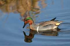 Green Winged Teal royalty free stock images