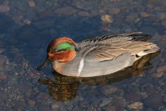 Green Winged Teal stock photo