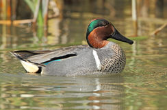 Green-winged Teal Stock Photos