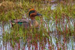 Green Winged Teal Stock Photography