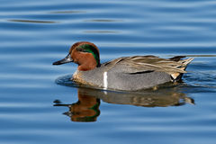 Green-winged Teal (Anais carolinensis) Stock Images