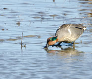 Green winged teal (Anas crecca) Royalty Free Stock Images