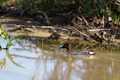 Green-winged Teal, Anas crecca Stock Photos