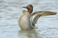 Green-winged Teal - Anas crecca. Feeding in the water Royalty Free Stock Photos