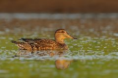 Green-winged Teal - Anas crecca. Feeding in the water Royalty Free Stock Photography