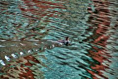 Red-Breasted Merganser Duck has returned to the Chicago River after winter. Red-Breasted Merganser Duck swims in the Chicago River after it returns from a long Stock Photos