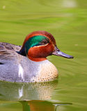 Green-Winged Teal Duck swimming Stock Photos