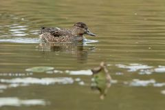Green-winged Teal. Female Green-winged Teal swimming in the open water of a marsh Stock Photos