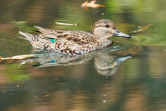 Green-winged Teal Royalty Free Stock Photo