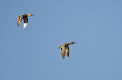 Green-Winged Teal Flying in a Blue Sky Royalty Free Stock Photo