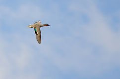 Green-Winged Teal Flying in a Cloudy Sky Stock Images