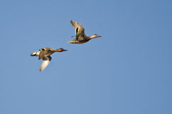 Green-Winged Teal Flying In A Blue Sky Stock Image