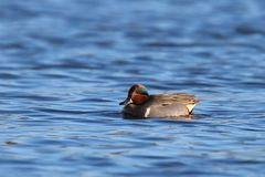 Green Winged Teal. A male green winged teal Anas crecca swimming on blue water.  A small dabbling duck.  The vertical white shoulder mark distinguishes the Stock Photo