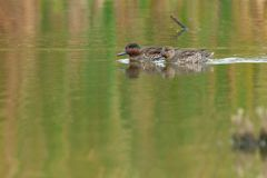 Green-winged Teal. Male and Female Green-winged Teal swimming in the open water of a marsh Royalty Free Stock Photos