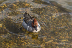 Green Winged Teal. Small dabbling duck Green Winged Teal on a water in the lake along Royalty Free Stock Image
