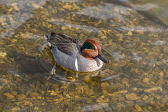 Green Winged Teal. Small dabbling duck Green Winged Teal on a water in the lake along Royalty Free Stock Photo