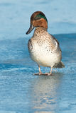 Green-winged Teal. Stock Images