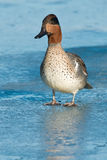 Green-winged Teal. Stock Photography