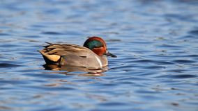 Green Winged Teal Swimming on Blue Water