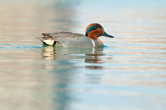 Green-winged Teal Stock Images
