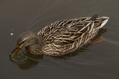 Green Winged Teal. Swimming in spring Stock Image