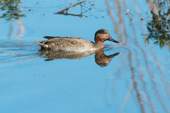 Green-winged Teal Stock Photo