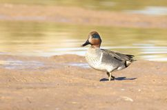 Green-winged Teal Royalty Free Stock Image