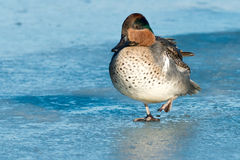 Green-winged Teal Royalty Free Stock Photography