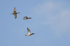 Green-Winged Teals Flying in a Cloudy Sky Royalty Free Stock Photo