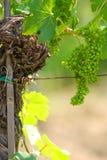 green winogron Fotografia Royalty Free