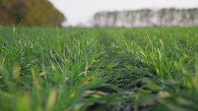 Green winter wheat sprouts shoots in autumnal field. The camera moves slowly through the rows. Close-up shot stock footage