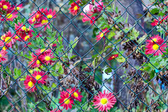 Green wire fence red flowers in the background Stock Image