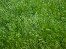 Green wire grass texture. Texture with green wire grass royalty free stock image