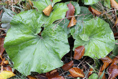 Green and withered leaves Royalty Free Stock Image