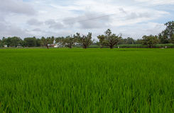 Green Wonder (Paddy Field) Royalty Free Stock Images
