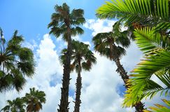 Green wonderful palm trees on blue sky background. Aruba island Stock Photo