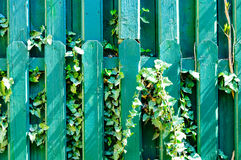 Green wood fence ivy climbing plant garden Stock Image