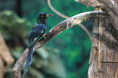 Green wood hoopoe Royalty Free Stock Image