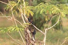 Green wood hoopoe in Ghana. Green wood hoopoe Phoeniculus purpureus in Ghana, western Africa royalty free stock photos
