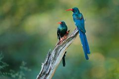 Green Wood hoopoe, Phoeniculus purpureus, bird family in the nature habitat. Animals sitting in the tree trunk. Wildlife scene fro. M nature, Okavango, Moremi royalty free stock photos