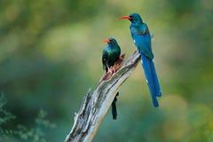 Green Wood hoopoe, Phoeniculus purpureus, bird family in the nature habitat. Animals sitting in the tree trunk. Wildlife scene fro. M nature, Okavango, Moremi royalty free stock photos