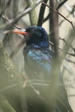 Green wood hoopoe Stock Photos