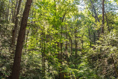 Green Woodlands Royalty Free Stock Photo